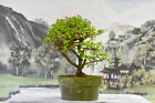 Pretty PREMNA Pre Bonsai Tree with Dense Canopy Small Leaves Fast Grower