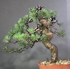 Bonsaibaum Kiefer Waldkiefer Fhre Pinus Sylvestris Bonsai Prebonsai 40 cm