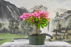 Gorgeous BOUGAINVILLEA SILHOUETTE pre bonsai Flowers Year Round