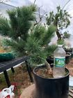Japanese White Pine Pre Bonsai