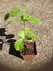 White Flowering Dogwood Tree Native North America 6 12 in Small pot