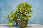 Great GREEN ISLAND FICUS Pre Bonsai Tree Oval leaves Produces Ornamental figs