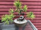 8 Tall Japanese Black Pine Bonsai Informal Style Fat Gnarly Trunk