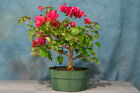 RADIANT RED BOUGAINVILLEA pre bonsai Blooms Year Round Fast Grower
