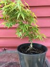 10 Japanese Oto Hime Maple Pre Bonsai Tree Grown Informal Style