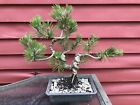 12 Tall Japanese Black Pine Bonsai Informal Style Gnarly Trunk