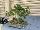 Green Island Ficus Bonsai Grouping forest On Slab