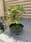 Brazilian Raintree Pre Bonsai 5