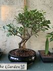Bonsai Tree Tiger Bark Ficus Ceramic Pot 12 Yrs Old
