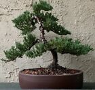 Bonsai Tree Dwarf Japanese Juniper Procumbens Nana Beautiful Example