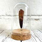Spinosaurus Dinosaur Tooth Fossil in Glass Bell Cloche Dome Jar Natural History