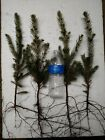 100 FAST GROWING NORWAY SPRUCE TREE SEEDLINGS 15 18 GROWER DIRECT