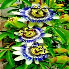 BLUE PASSION FLOWER SEEDS Passiflora Large, Attracts Hummingbirds & Butterflies!