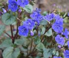 CALIFORNIA DESERT BLUEBELLS * Phacelia campanularia * NATIVE WILFLOWER * SEEDS