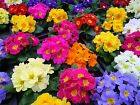 50 MIXED COLORS ENGLISH PRIMROSE Primula Flower Seeds Comb S H