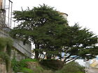 Monterey Cypress Cupressus macrocarpa Tree Seeds Evergreen Bonsai Topiary