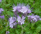 PURPLE TANSY * Phacelia tanacetifolia * HONEY BEE PLANT * HEAT TOLERANT * SEEDS