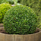 Boxwood Buxus sempervirens Seeds Hardy Evergreen Topiary Hedge Bonsai