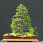 Jezo Spruce Picea jezoensis Tree Seeds Bonsai Fast Evergreen