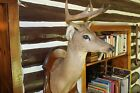 6 Point White Tail Deer Mount Taxidermy Trophy Head Antlers FREE PICK UP