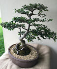 Chinese Elm Bonsai One of a kind