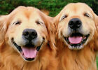 Two Smiling Golden Retrievers Funny Dog Birthday Card by Avanti Press