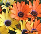 African Daisy Mix 100 Seeds 50  off sale