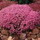 Creeping Mother of Thyme 200 Seeds 50  off sale