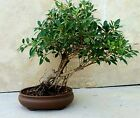 Ficus retusa Bonsai tiger bark Ficus Literati slanted style aerial roots