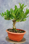 Shohin Buttonwood pre Bonsai Tree Great Starter Tree
