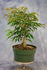 Native to Phillipines Ficus pre Bonsai Tree  Great for Banyan style
