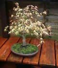 Acer Palmatum Japanese Mountain Maple MAYBE Katsura Bonsai Tree GREAT NEBARI