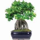 Ginseng Grafted Ficus Bonsai Tree