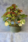 Variegated Sea Hibiscus Pre Bonsai Tree Leaves reduce well