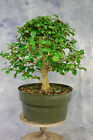 Parrots Beak Pre Bonsai Tree One of the best new tropical bonsai