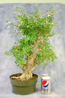 Flowering Escambron Pre Bonsai Tree Large Collected tree