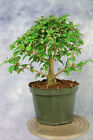 Shohin Parrots Beak Pre Bonsai Tree One of the best new tropical bonsai
