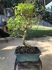 Chinese Privet Bonsai 2
