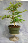 Dwarf Black Olive Pre Bonsai Tree Great Tropical Bonsai Material