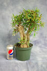 Willow Leaf Ficus Bonsai Tree with Unique trunk