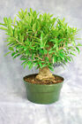 New Ficus exotica Pre Bonsai Tree Large Trunk