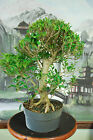 Large Ficus kaneshiro Pre Bonsai Tree Easy Indoor Bonsai