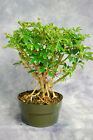 Banyan Dwarf Schefflera Pre Bonsai Tree Great for Beginners