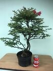 Flowering Crepe Myrtle Pre Bonsai tree Cold Hardy