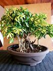 Hawaiian Umbrella Bonsai Tree 04 Banyan Style schefflera arboricola