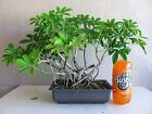 Hawaiian Umbrella Bonsai Tree 06 Banyan Style schefflera arboricola