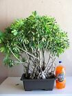 Hawaiian Umbrella Bonsai Tree 08 Banyan Style schefflera arboricola