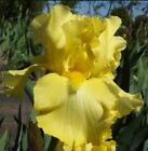 1 Tall Bearded Iris