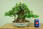 Specimen Sumo Ficus Bonsai Tree in Japanese pot