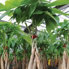 Money Tree Plant Bonsai Tall Braided Trunk Live Indoor Outdoor Garden Hydroponic